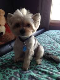 12 best morkie haircuts images on pinterest hairstyles yorkie