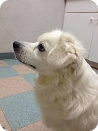 american eskimo dog breeders new england thelma adopted dog dedham ma cocker spaniel american eskimo