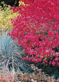 art garden 5 shrubs fabulous fall color