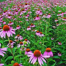 Australian Garden Flowers by Australian Seed Echinacea Purple Coneflower