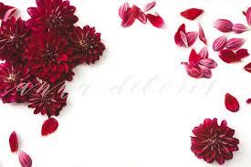Dark Red Flower - flower stock photo dark red dahlias product mockups creative
