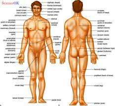 Female Anatomy Image Parts Human Body Systems Human Male Female Anatomy Organ Charts