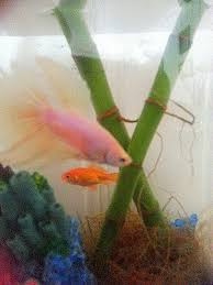 Betta Fish Vase With Bamboo Betta Fish Goldfish And Bamboo Oh My Crafts A La Mode