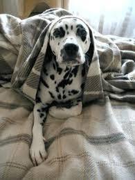 dalmatian dog breed information dalmatian lifestyle dog