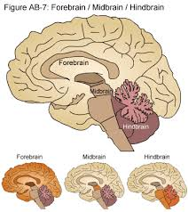 What Is The Main Function Of The Medulla Oblongata Bio Geo Nerd Brain Anatomy And Functions