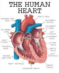 Pictures Of Anatomy Of The Human Body Best 25 Human Heart Ideas On Pinterest Human Heart Drawing