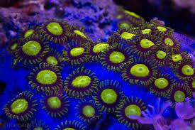 led lighting for zoanthids yellow coral zoantharia hexacorallia o mar e os seus sêres