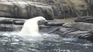 update on female polar bear u201ckobe u201d now at pittsburgh zoo reid