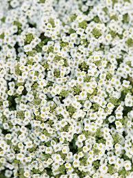 alyssum flowers 21 best plants for pollinators sunset magazine