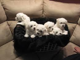 bichon frise 4 months old frosty bichons akc bichon frise puppies