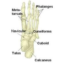 Talus Ligaments Foot Anatomy