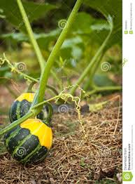 small ornamental gourd royalty free stock images image 38389469