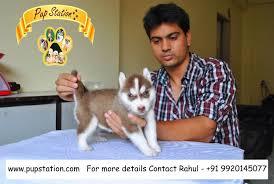 american eskimo dog in india siberian husky price in india siberian husky puppy for sale in