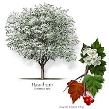 hawthorn small tree pt hv shade white flowers fall color