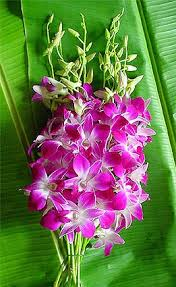 Dendrobium Orchid Amazon Com Purple Dendrobium Bombay Orchids Mother U0027s Day Special
