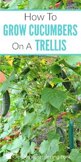 Growing Melons On A Trellis Growing Cucumbers On A Trellis How To Grow Cucumbers Vertically