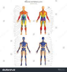human anatomy guide images learn human anatomy image
