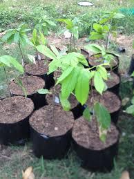 scion plant scion groves at atipuluan u2013 plantacion de sikwate cacao producers