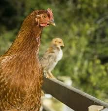 Best Laying Hens For Backyard Best 25 Best Laying Hens Ideas On Pinterest Best Laying
