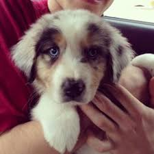 australian shepherd york i found stanley on so cute blue and australian shepherd mix