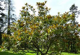 ornamental plant magnolia grandiflora seeds 300pcs beautifying