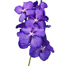 vanda orchids buy fresh cut wholesale blue vanda orchids on wholesale
