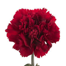 carnations flowers carnations flower muse