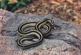 english pattern snake guides common gartersnake montana field guide