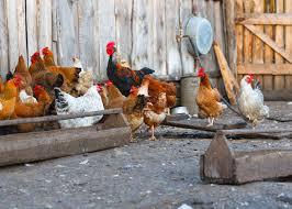 a quick guide to keeping backyard chickens farmer u0027s wife rambles