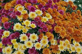 free photo garden plants mums flowers color variety floral max pixel