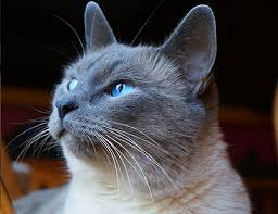 interesting cat facts siamese cats walking heat maps catster