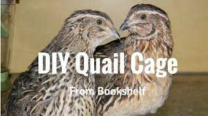 raising backyard quail quail cage from old shelf youtube