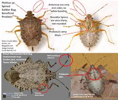 stink bugs telling the good ones from the bad ones ask an