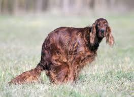 boxer dog vomiting after eating regurgitation in dogs petmd