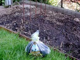 Mulching Vegetable Garden by Mulching Veggie Garden With Coffee Grounds Enviromom