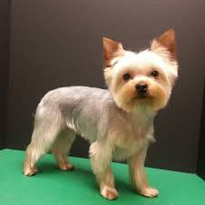 haircuts for yorkies with thin hair 42 best yorkie cuts images on pinterest yorkie yorkies and