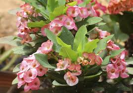 native plants of madagascar propagating crown of thorns growing crown of thorns plant