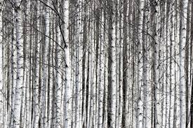 birch tree wallpaper 47 wujinshike com birch tree wallpaper