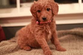 goldendoodle puppy virginia goldendoodle breeder ny goldendoodle puppies ny doodles by