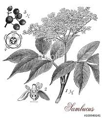 vintage print of elderberry or sambucus plant botanical morphology