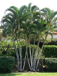 innovative robellini palm look other metro tropical landscape