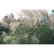 2 5 quart purple grass l8564 fast growing 4 98 yard