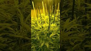 flower gardening 101 grow 101 marijuana bud room flower room day 21 preview youtube