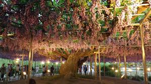 ashikaga flower park japan travel guide bmj