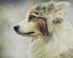 1 australian shepherd australian shepherd portrait 1 photograph by wolf shadow photography