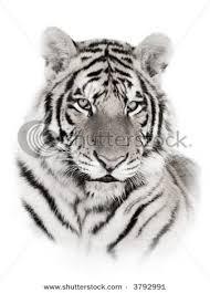 stock vector tiger design