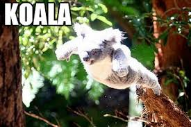 Koala Meme - koala memes have all the koalafications