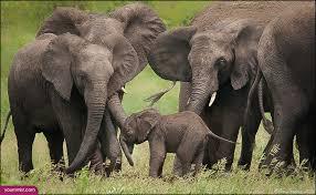 african elephants poaching wallpaper