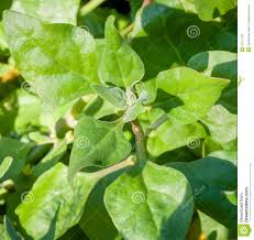 australian native plants for sale australian native edible plant warrigal greens stock photo image