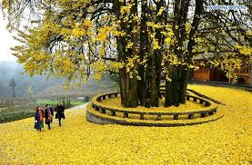 of china tree ancient ginkgo tree attracts visitors in central china
